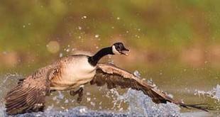 Goose Hunting