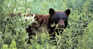 black_bear_hunting