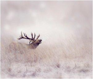 Elk-Hunting